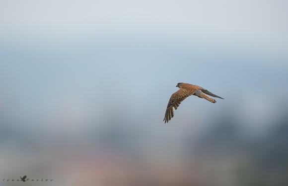 Common Kestrel/Falco tinnunculus - Photographer: Иван Павлов