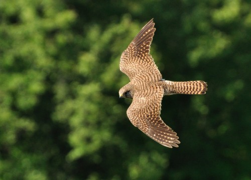 Common Kestrel/Falco tinnunculus - Photographer: Теодора Койнова
