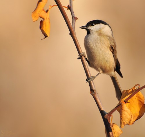 Marsh Tit/Poecile palustris - Photographer: Стефан Стефанов