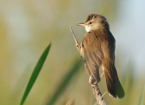 Great Reed-warbler/Acrocephalus arundinaceus - Photographer: Теодора Койнова