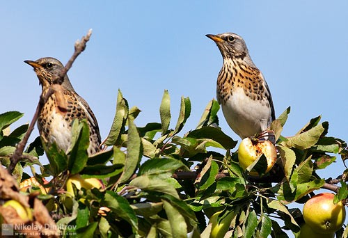 Fieldfare/Turdus pilaris - Photographer: Николай Димитров