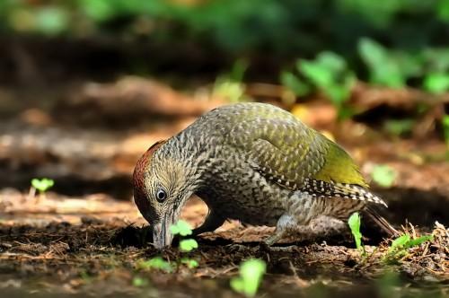 Eurasian Green Woodpecker/Picus viridis - Photographer: Емил Иванов