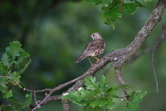 Song Thrush/Turdus philomelos - Photographer: Frank Schulkes
