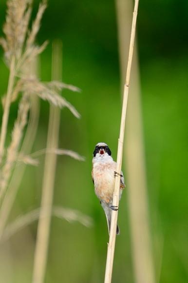 Eurasian Penduline-tit/Remiz pendulinus - Photographer: Frank Schulkes
