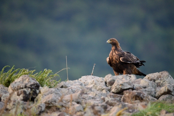 Golden Eagle/Aquila chrysaetos - Photographer: Frank Schulkes