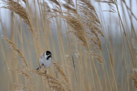 Reed Bunting/Emberiza schoeniclus - Photographer: Frank Schulkes