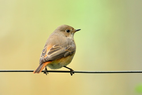 Common Redstart/Phoenicurus phoenicurus - Photographer: Емил Иванов