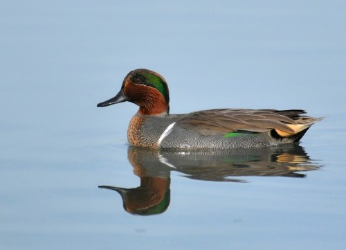 Green-winged Teal/Anas carolinensis - Photographer: Иван Петров