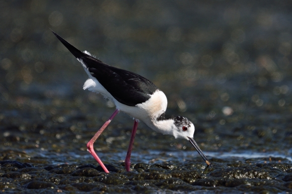 Black-winged Stilt/Himantopus himantopus - Photographer: Frank Schulkes
