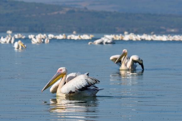Great White Pelican/Pelecanus onocrotalus - Photographer: Frank Schulkes
