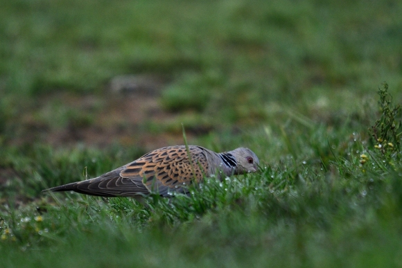 European Turtle-dove/Streptopelia turtur - Photographer: Frank Schulkes