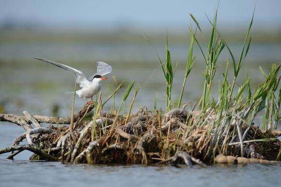 Common Tern/Sterna hirundo - Photographer: Frank Schulkes