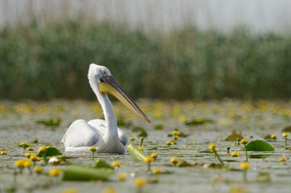 Къдроглав пеликан/Pelecanus crispus - Фотограф: Frank Schulkes