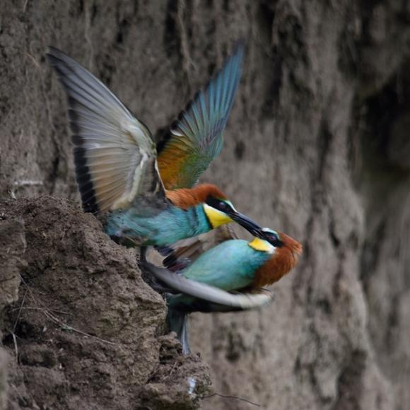 European Bee-eater/Merops apiaster - Photographer: Frank Schulkes