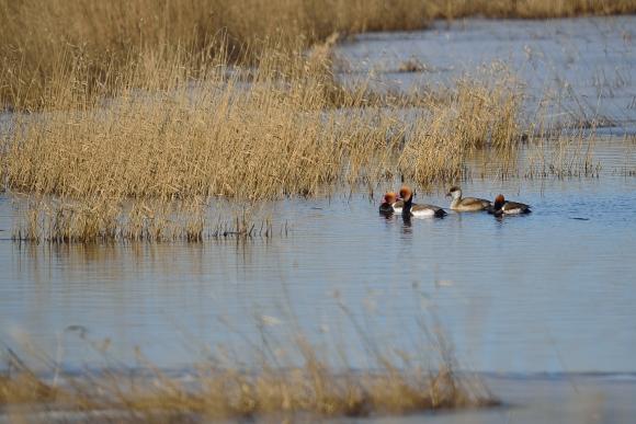 Red-crested Pochard/Netta rufina - Photographer: Frank Schulkes