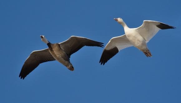 Snow Goose/Chen caerulescens - Photographer: Иван Петров