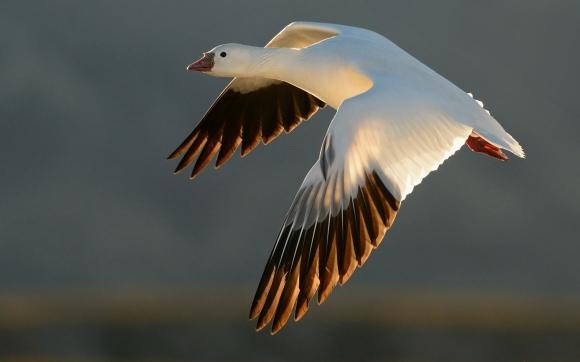 Ross's Goose/Anser rossii - Photographer: Иван Петров