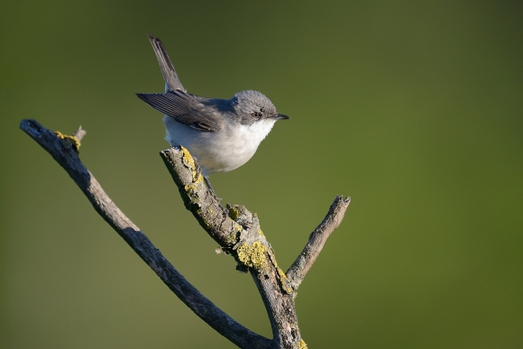 Lesser Whitethroat/Sylvia curruca - Photographer: Frank Schulkes