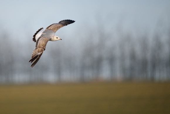 Mew Gull/Larus canus - Photographer: Frank Schulkes