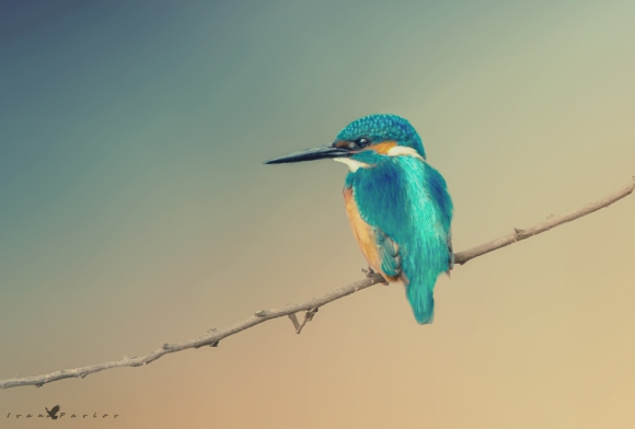 Common Kingfisher/Alcedo atthis - Photographer: Иван Павлов