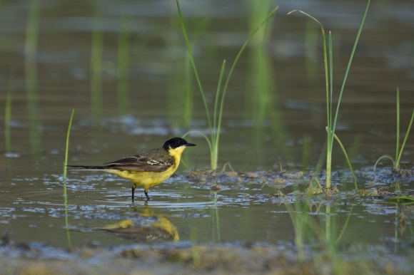 Yellow Wagtail/Motacilla flava - Photographer: Frank Schulkes