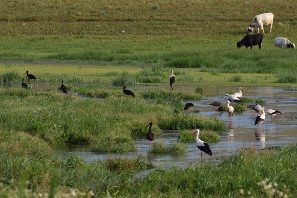 White Stork/Ciconia ciconia - Photographer: Frank Schulkes