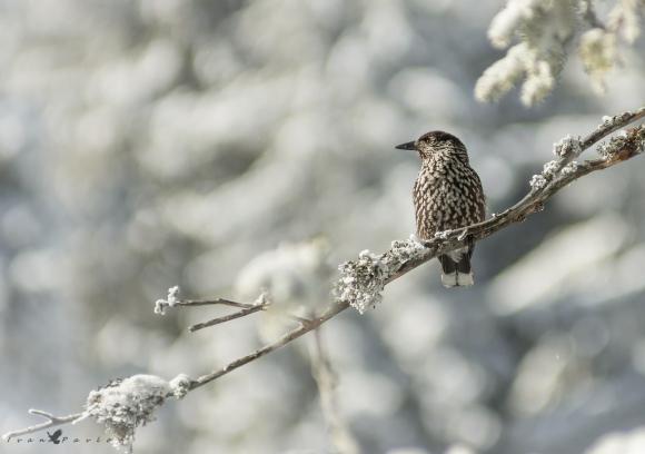 Spotted Nutcracker/Nucifraga caryocatactes - Photographer: Иван Павлов