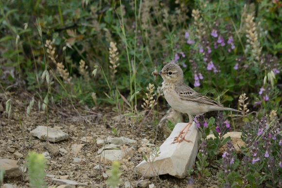 Tawny Pipit/Anthus campestris - Photographer: Frank Schulkes