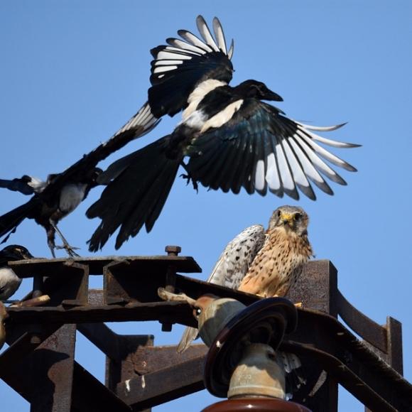 Common Kestrel/Falco tinnunculus - Photographer: Frank Schulkes