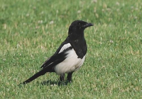 Black-billed Magpie/Pica pica - Photographer: Иван Петров