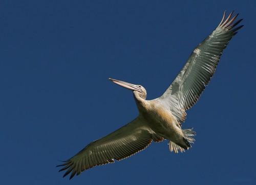 Къдроглав пеликан/Pelecanus crispus - Фотограф: Боян Илиев