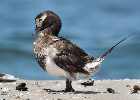 Long-tailed Duck/Clangula hyemalis - Photographer: Иван Петров