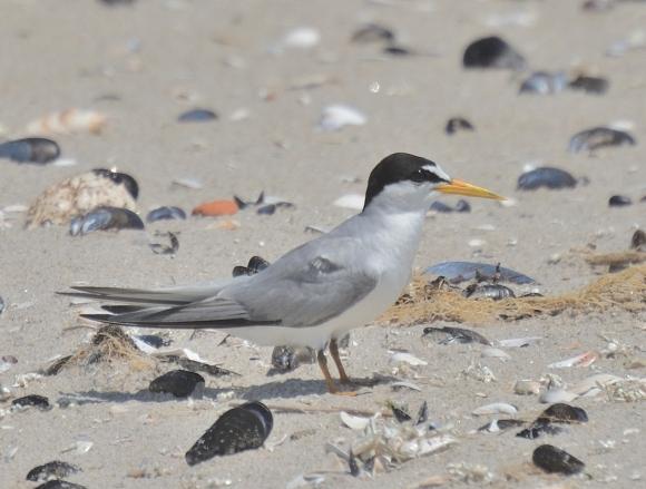 Little Tern/Sternula albifrons - Photographer: Иван Петров