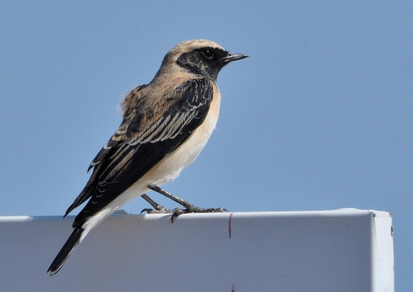 Black-eared Wheatear/Oenanthe hispanica - Photographer: Иван Петров
