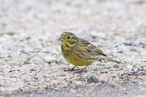 Yellowhammer/Emberiza citrinella - Photographer: Младен Василев