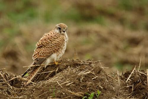 Common Kestrel/Falco tinnunculus - Photographer: Нели Олова