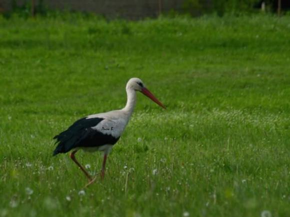 White Stork/Ciconia ciconia - Photographer: Лилия Василева