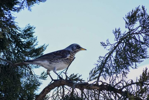 Fieldfare/Turdus pilaris - Photographer: Лилия Василева