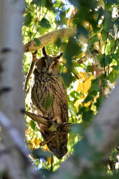 Long-eared Owl/Asio otus - Photographer: Лилия Василева