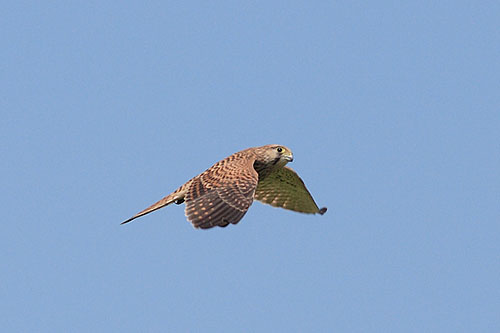 Common Kestrel/Falco tinnunculus - Photographer: Добромир Добринов