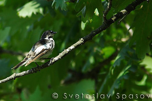 Semi-collared Flycatcher/Ficedula semitorquata - Photographer: Светослав Спасов
