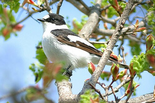 Collared Flycatcher/Ficedula albicollis - Photographer: Емил Енчев