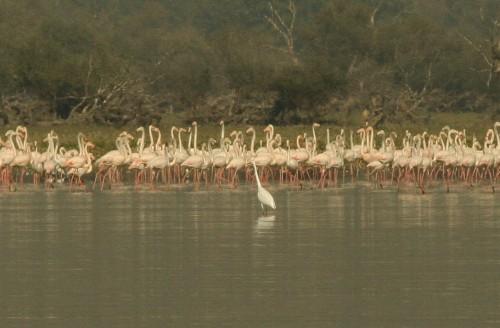 Greater Flamingo/Phoenicopterus roseus - Photographer: Николай Стоянов