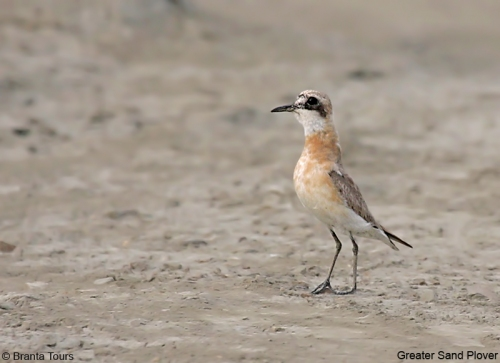Greater Sand Plover/Charadrius leschenaultii - Photographer: Pavel Simeonov