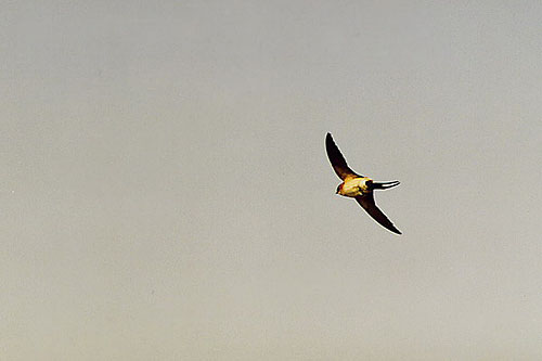 Red-rumped Swallow/Cecropis daurica - Photographer: Младен Василев