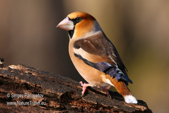 Hawfinch/Coccothraustes coccothraustes - Photographer: Sergey Panayotov