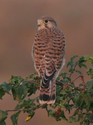 Common Kestrel/Falco tinnunculus - Photographer: Борислав Борисов
