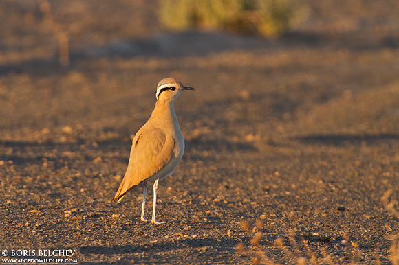 Cream-coloured Courser/Cursorius cursor - Photographer: Борис Белчев