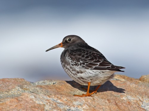 Purple Sandpiper/Calidris maritima - Photographer: Даниел Митев