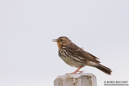 Red-throated Pipit/Anthus cervinus - Photographer: Борис Белчев